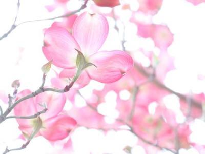 Spring Blosssom